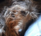Cuddle Time With A Scottish Deerhound. Photo By: Adam Singer Https://creativecommons.org/licenses/by-Nd/2.0/