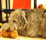 Scottish Deerhound With Her Favorite Toy. Photo By: Adam Singer Https://creativecommons.org/licenses/by-Nd/2.0/