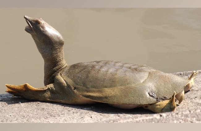 Chinese Softshell Turtle Photo by: J. Maughn https://creativecommons.org/licenses/by-nc/2.0/