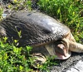 Florida Softshell Turtle Photo By: Dave Govoni Https://creativecommons.org/licenses/by-Nc/2.0/