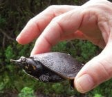 Juvenile Florida Softshell Turtle Photo By: Dave Govoni //creativecommons.org/licenses/by-Nc/2.0/