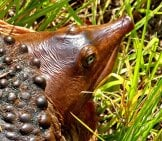Closeup From Above A Florida Softshell Turtle Photo By: Mary Keim //creativecommons.org/licenses/by-Nc/2.0/