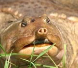 Closeup Of A Florida Softshell Turtle - Notice The Unique Snoutphoto By: Gabriel Kamenerhttps://creativecommons.org/licenses/by-Nc/2.0/