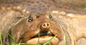 Closeup of a Florida Softshell Turtle - notice the unique snoutPhoto by: Gabriel Kamener//creativecommons.org/licenses/by-nc/2.0/