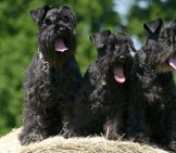 A Trio Of Black Standard Schnauzers On A Hay Bale