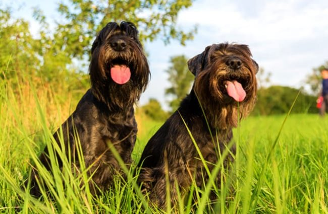 Two Standard Schnauzers catching their breath in a meadowPhoto by: (c) Madrabothair www.fotosearch.com