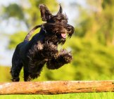 Standard Schnauzer In A K9 Agility Course Photo By: (C) Madrabothair Www.fotosearch.com
