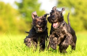 A pair of Standard Schnauzers racing through the meadowPhoto by: (c) Madrabothair www.fotosearch.com