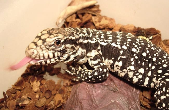 Tegu Lizard in captivity Photo by: Breanna Agnor https://creativecommons.org/licenses/by-nd/2.0/
