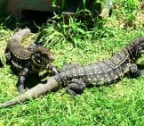 A Pair Of Tegu Lizards Coming Out To Bask In The Sun Photo By: Eric Gropp Https://Creativecommons.org/Licenses/By-Nd/2.0/