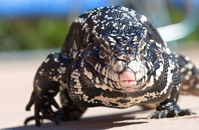 Argentine Black and White Tegu Lizard Photo by: Mike Baird https://creativecommons.org/licenses/by-nd/2.0/