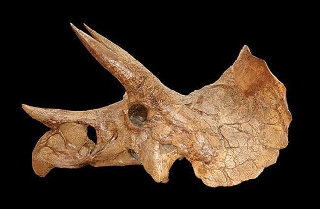 Triceratops skull Illustration by: Nicholas R. Longrich, Daniel J. Field CC BY-SA 2.5 //creativecommons.org/licenses/by-sa/2.5