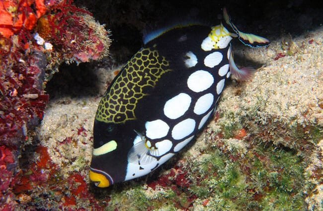 Stunning black and white Triggerfish
