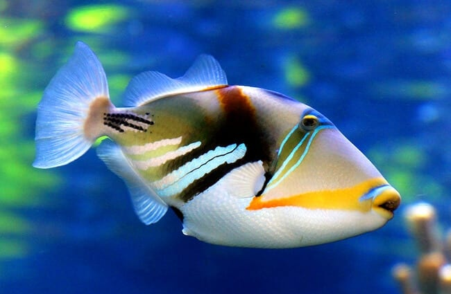 Beautiful Triggerfish in profile