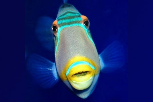 Picasso Triggerfish from the Oregon Coast Aquarium's Oddwater exhibitPhoto by: OCVAhttps://creativecommons.org/licenses/by-nd/2.0/