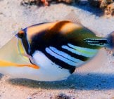 Picasso Triggerfish Photo By: Zsispeo Https://creativecommons.org/licenses/by-Nd/2.0/