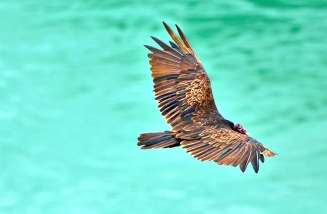 Turkey Vulture flying over the warm blue waters of the ocean