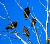 Four Turkey Vultures Roosted In A Tree