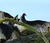 Turkey Vulture, Wings Spread, At A Nesting Site