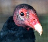 Closeup Of A Turkey Vulture's Bald Head
