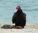 Turkey Vulture On The Beach With A Carrion Meal