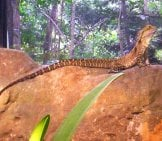 Water Dragon On A Downed Tree. Notice His Very Long Tail