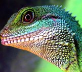 Closeup Of A Chinese Water Dragon