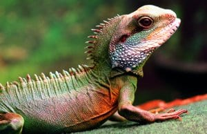 Chinese Water Dragon. Notice the spines along his back