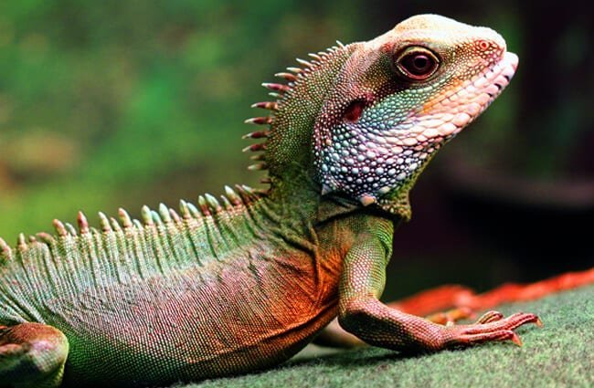 Water Dragon Description, Habitat, Image, Diet, and