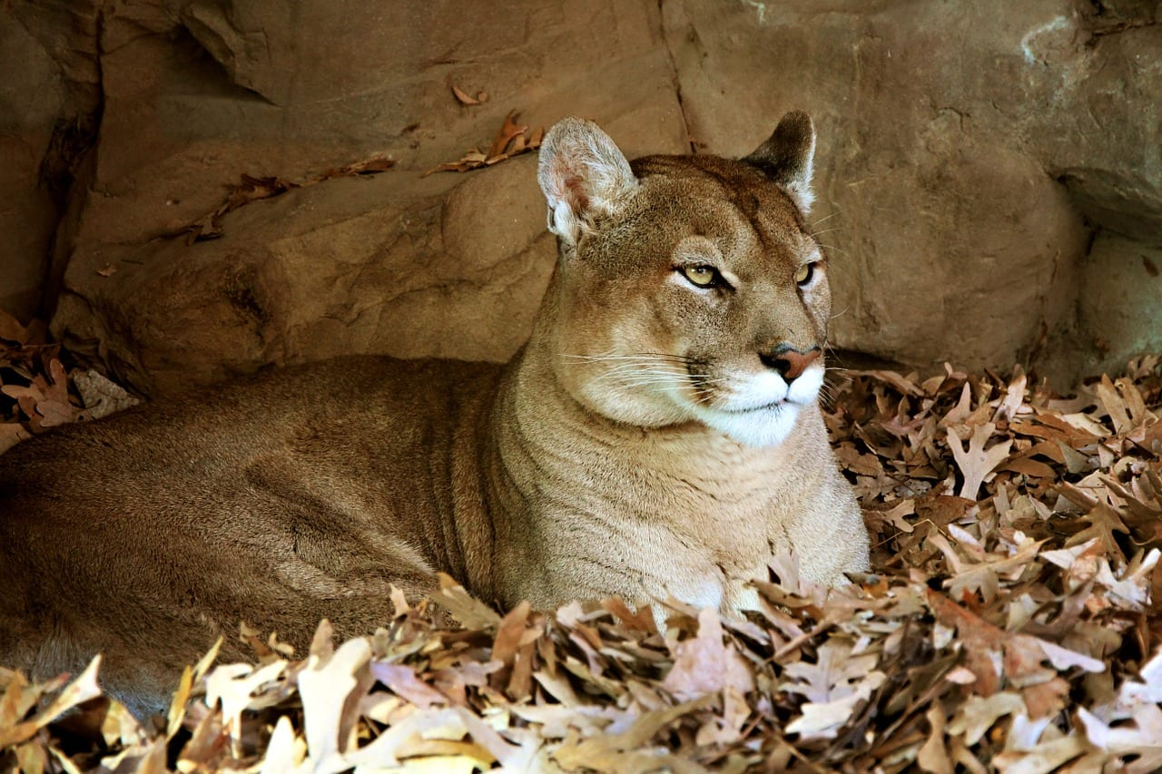 https://pixabay.com/en/animal-beige-cat-endangered-face-276002/