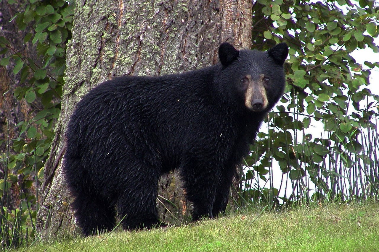 //pixabay.com/en/black-bear-animal-black-canim-lake-50293/