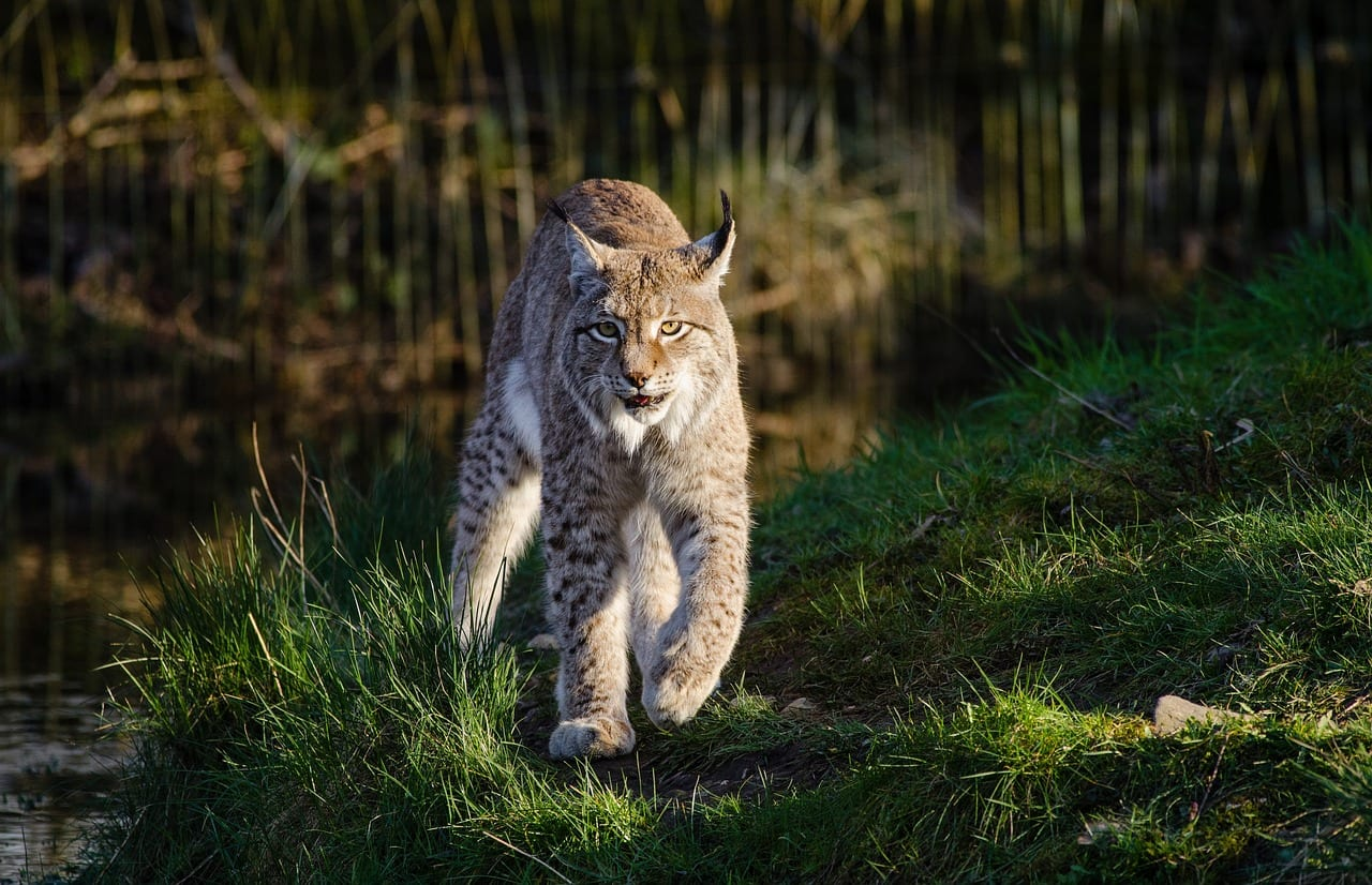 https://pixabay.com/en/bobcat-wildlife-predator-nature-3924734/
