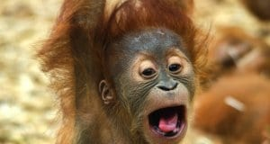 Baby Orangutan making a funny face