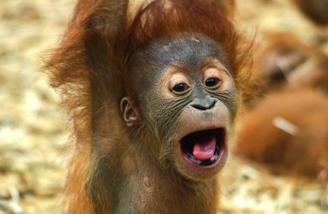 Funny pictures of baby orangutans