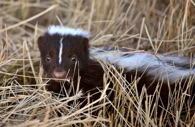 Baby skunk peeking through the grass