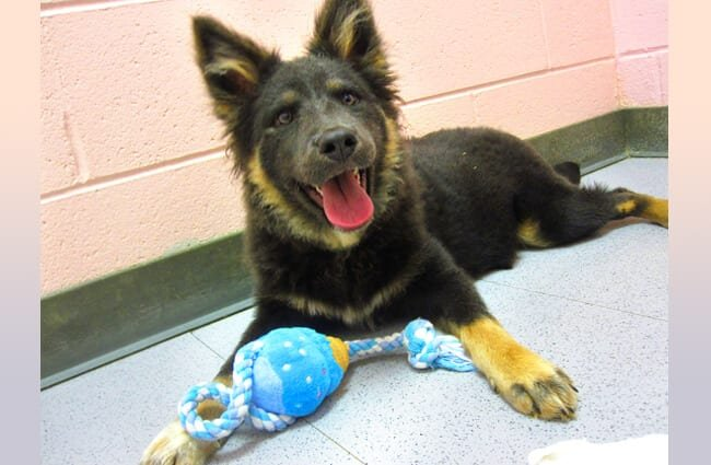 Belgian Tervuren puppy with his chew toy Photo by: bullcitydogs https://creativecommons.org/licenses/by-nc/2.0/