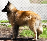Belgian Tervurenin Profile Photo By: Patty Carlson //creativecommons.org/licenses/by-Nc/2.0/