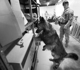 Belgian Tervuren In Military Training To Search For Drugs Photo By: Offutt Air Force Base Https://creativecommons.org/licenses/by-Nc/2.0/