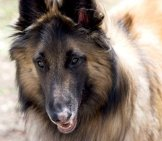 Closeup Portrait Of A Stunning Belgian Tervurenphoto By: Patty Carlsonhttps://creativecommons.org/licenses/by-Nc/2.0/