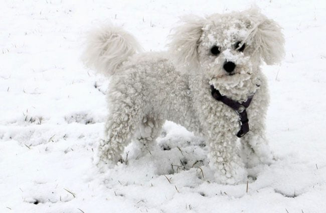 Bichon Frise playing in the snow!