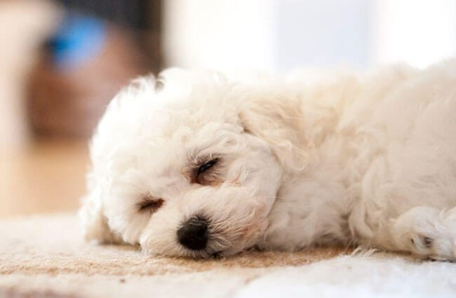 Cute but sleepy Bichon Frise Photo by: Jonathan Day https://creativecommons.org/licenses/by/2.0/