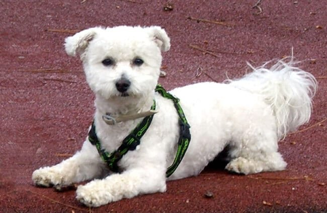 Bichon Frise posing for a quick pic Photo by: Chris¨^-^ https://creativecommons.org/licenses/by/2.0/