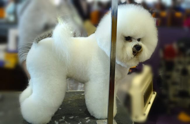 Bichon Frise groomed for the show ring Photo by: Petful - www.petful.com