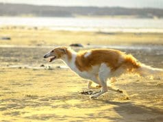Borzoi racing on the shore of the lake