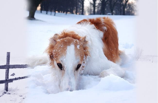 Borzoi playing in the snow