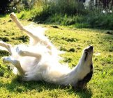 Borzoi Rolling In The Early Morning Light