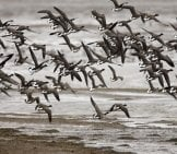 A Flock Of Brant Ducks Over A Lake