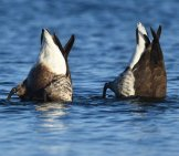 A Pair Of Brant Ducks, Hunting For Fish! Photo By: Andy Reago & Chrissy Mcclarren Https://creativecommons.org/licenses/by/2.0/