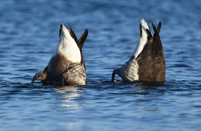 A pair of Brant ducks, hunting for fish! Photo by: Andy Reago & Chrissy McClarren //creativecommons.org/licenses/by/2.0/