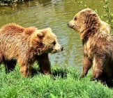 A Pair Of Brown Bears Drying Out On The River Bank
